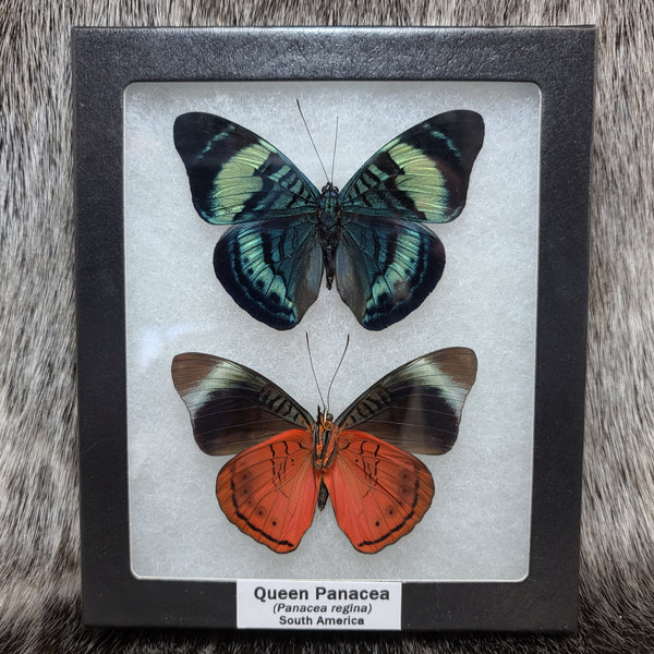 Queen Panacea Butterfly