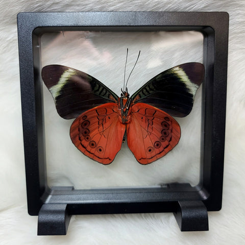 Queen Panacea Butterfly (Floating Frame)