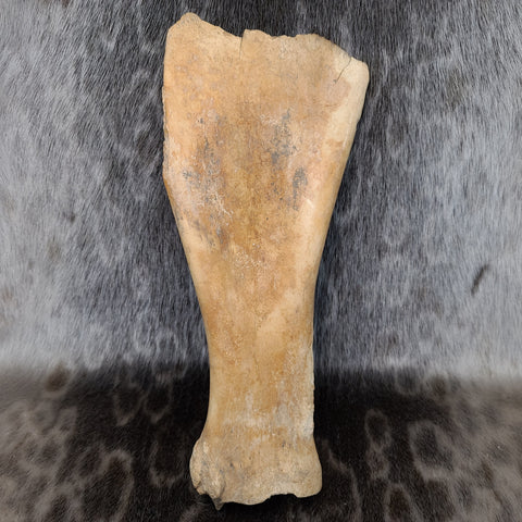 Bison Fossil Shoulderblade A