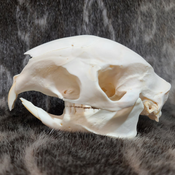 African Cape Porcupine Skull (CRAFT)