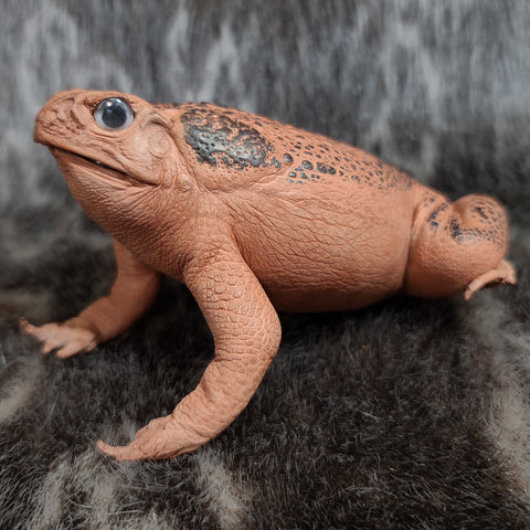 Cane Toad Taxidermy