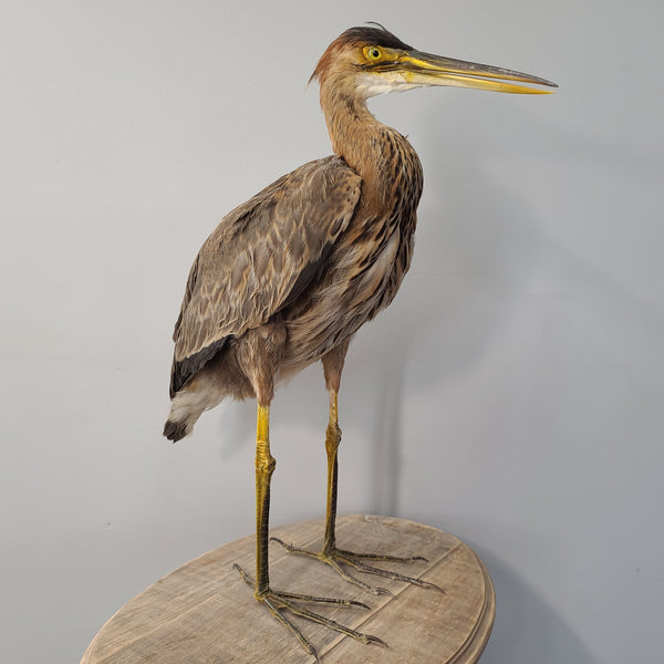 Purple Heron Taxidermy