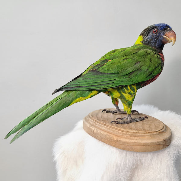 Coconut Lorikeet Taxidermy