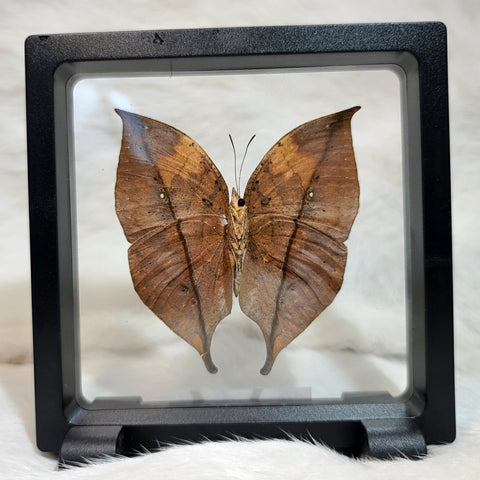 Orange Oakleaf Butterfly
