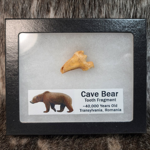 Cavebear Molar, Framed