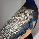 Peacock Taxidermy Mount