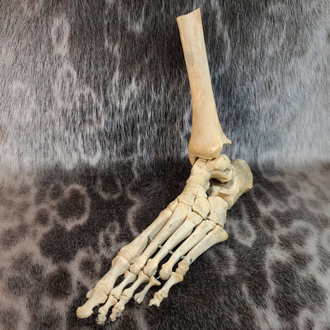 Articulated Human Foot, w/Partial Leg