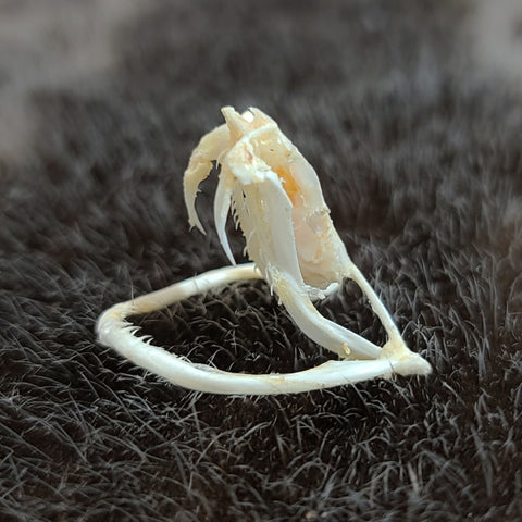 White-Lipped Viper Skull