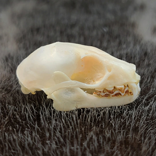 Greater Short-Nosed Fruit Bat Skull