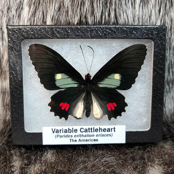 Variable Cattleheart Butterfly