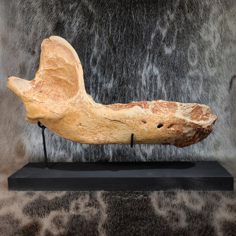 Geriatric Cave Bear Jaw (On Stand)
