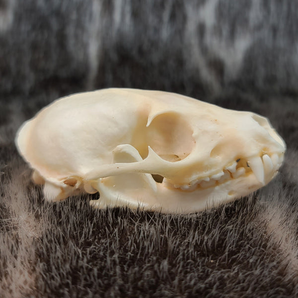 Common Kusimanse Mongoose Skull A