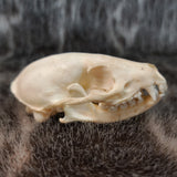 Common Kusimanse Mongoose Skull C