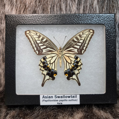 Asian Swallowtail Butterfly (SALE)