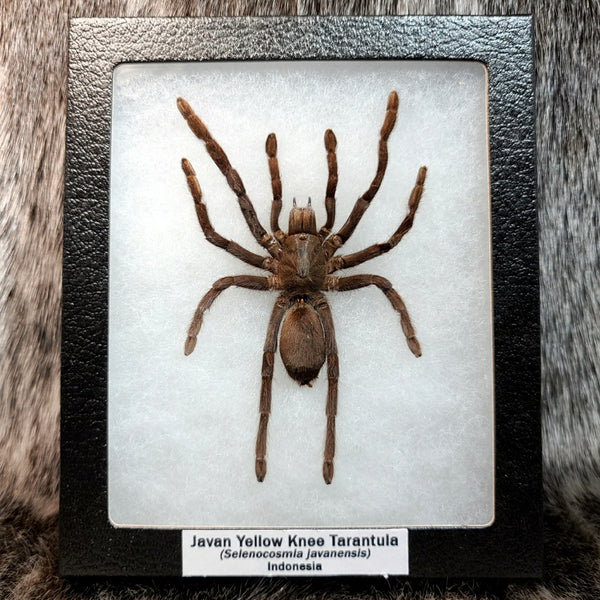 Javan Yellow Knee Tarantula