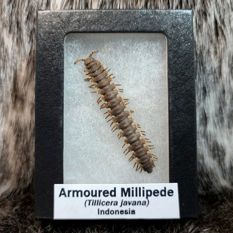 Armoured Millipede