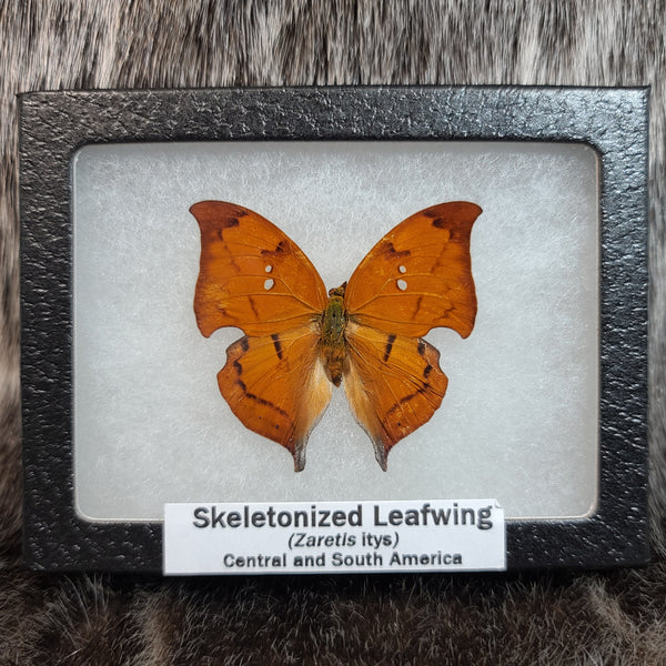 Skeletonized Leafwing Butterflies