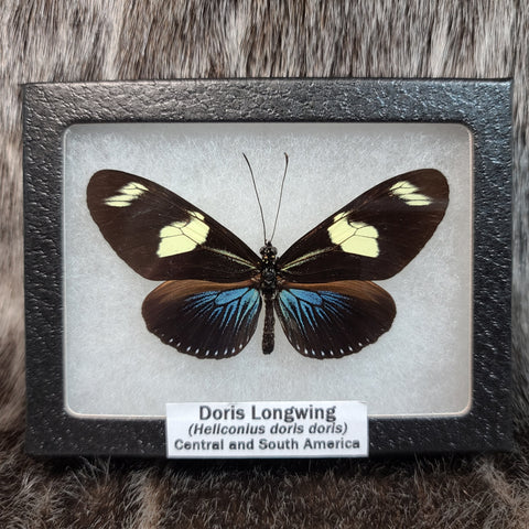 Doris Longwing Butterflies (SALE)