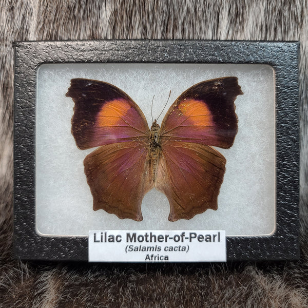 Lilac Mother-of-Pearl Butterflies