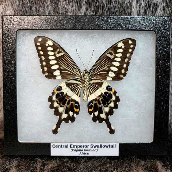 Central Emperor Swallowtail Butterfly (SALE)