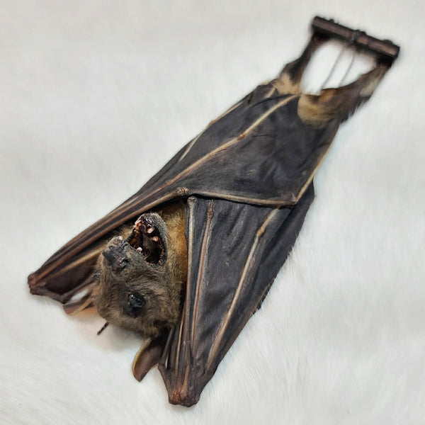 Greater Short-Nosed Fruit Bat Taxidermy, Hanging