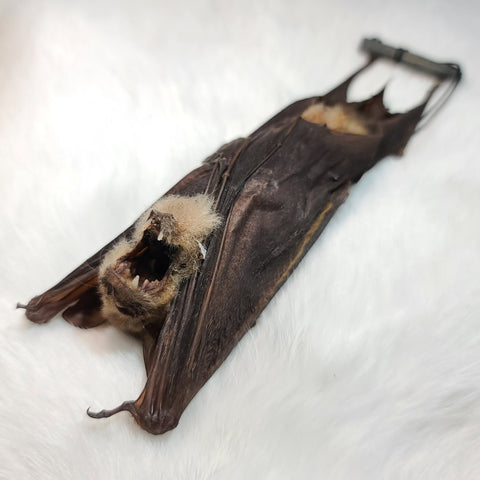 Diadem Leaf-Nosed Bat Taxidermy, Hanging