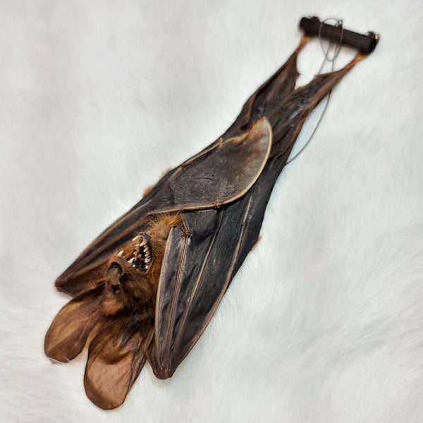False Vampire Bat Taxidermy, Hanging