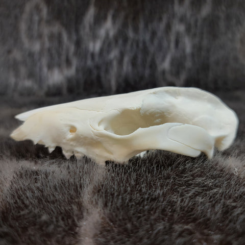 Opossum Skull B (CRAFT)