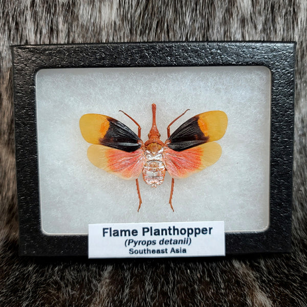Flame Planthoppers