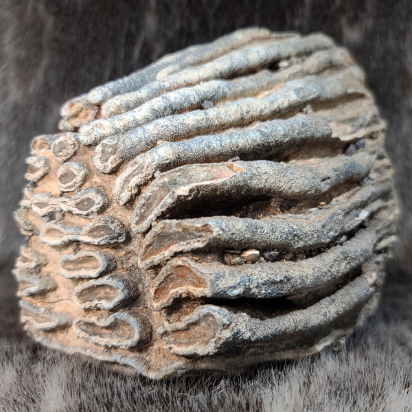 Woolly Mammoth Molar Fragment A