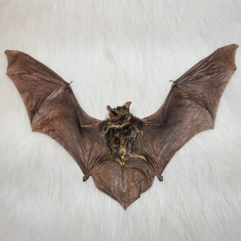 Brown Pipistrelle Bat Taxidermy (Unframed)