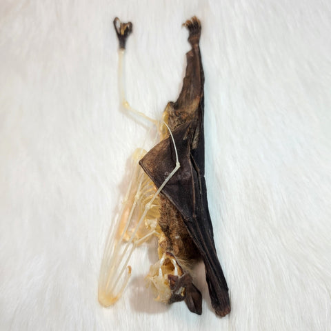 Cave Nectar Bat, Comparative Anatomy