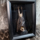 Greater Short-Nosed Fruit Bat, Framed Taxidermy A