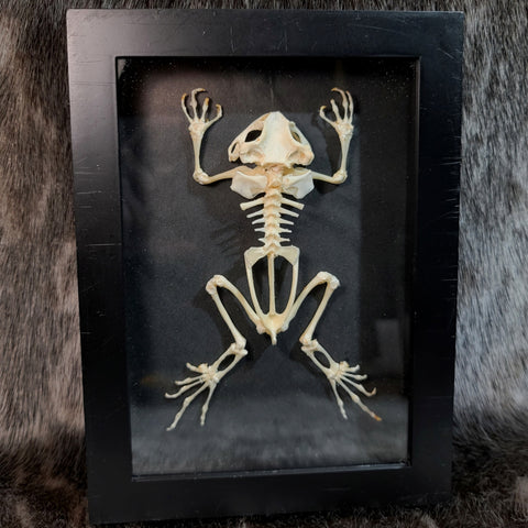 Black Spectacled Toad Skeletons, Framed