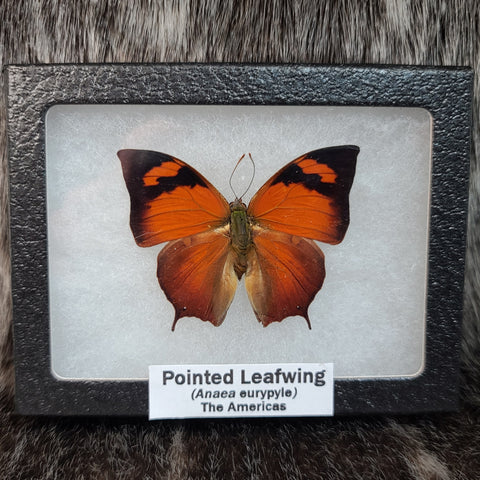 Pointed Leafwing Butterfly