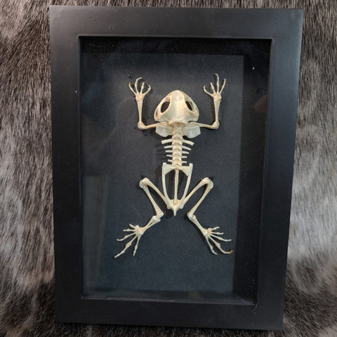 Black Spectacled Toad Skeleton, Framed (B Grade)