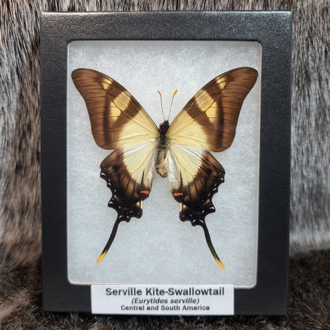 Serville Kite-Swallowtail Butterfly