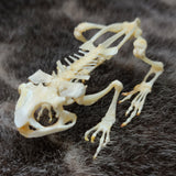 Black Spectacled Toad Skeletons (SALE)