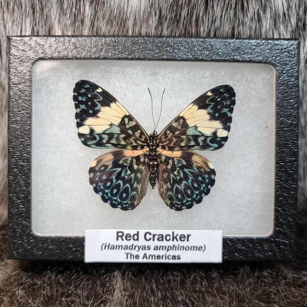 Red Cracker Butterfly (Side A)