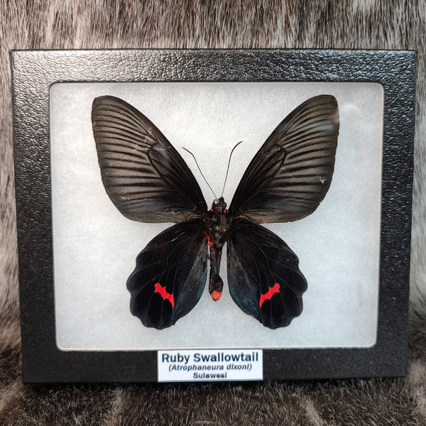 Ruby Swallowtail Butterfly
