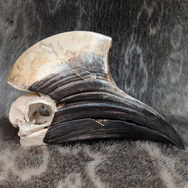 Yellow Casqued Hornbill Skull (B Grade Male)