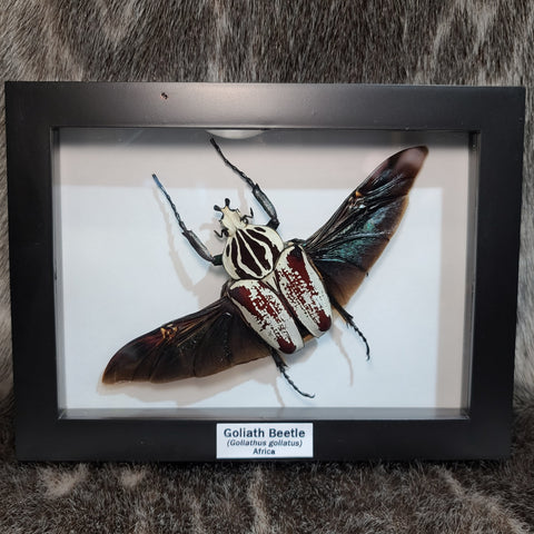 Goliath Beetle, Male C (Framed)