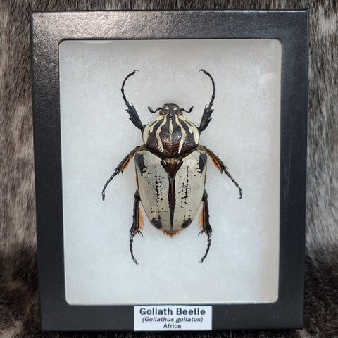 Goliath Beetle, Female A