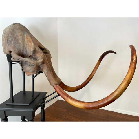Woolly Mammoth Skull (Cast Tusks)