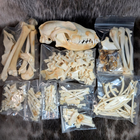 Red Fox Skeleton, Disarticulated