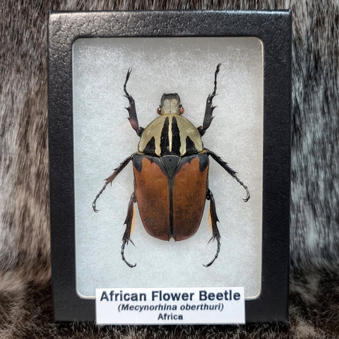 African Flower Beetle, Female (Solid Colour)