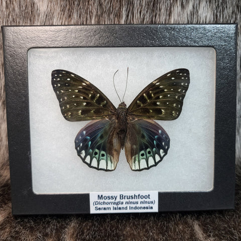 Mossy Brushfoot Butterfly