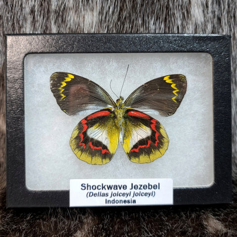 Shockwave Jezebel Butterfly