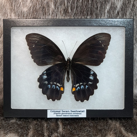 Colossal Seram Swallowtail Butterfly