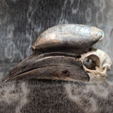 Black Casqued Hornbill Skulls, Male C (CRAFT)